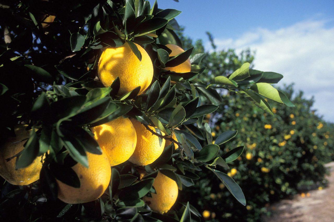 Oranges de Floride