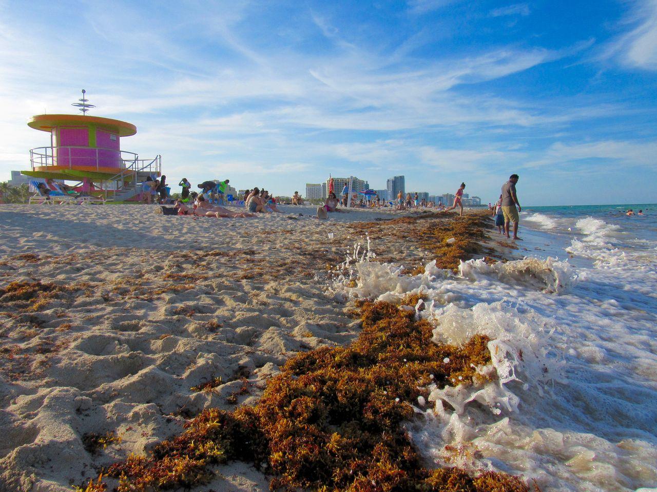 Les algues sargasses sur la plage de Miami Beach fini mai 2019
